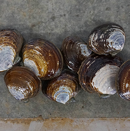 Savory Clams