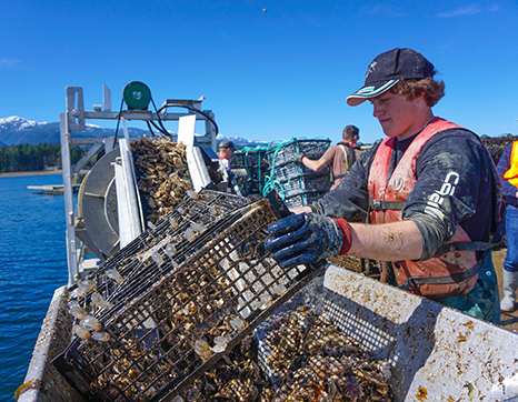 Ship crew harvesting oysters on Fanny Bay