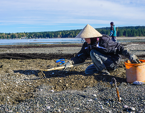 Woman raking shellfish on a beach