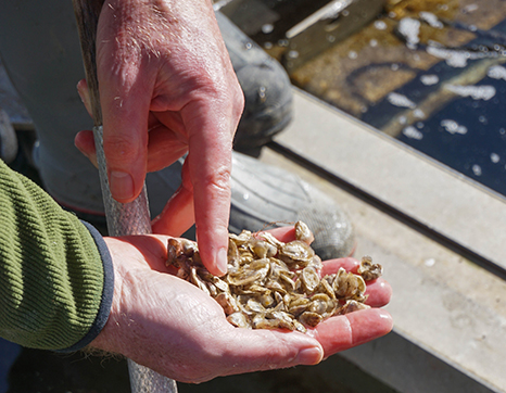 Hands holding oyster seeds